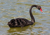 Black Swan (Cygnus atratus) - Hunter Valley Gardens (Private Gardens) - Pokolbin, Hunter Valley, NSW, Australia by Geoff Whalan