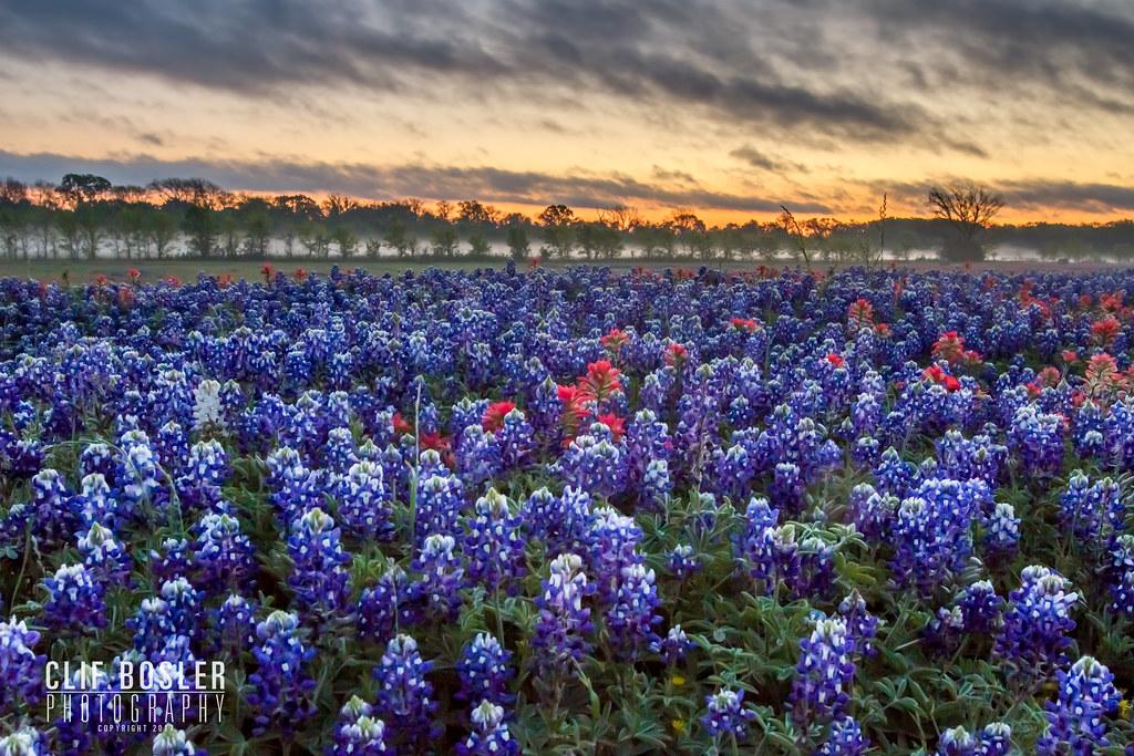 Bluebonnet Sunrise Ennis Texas Photo Taken April 1 2017 Flickr