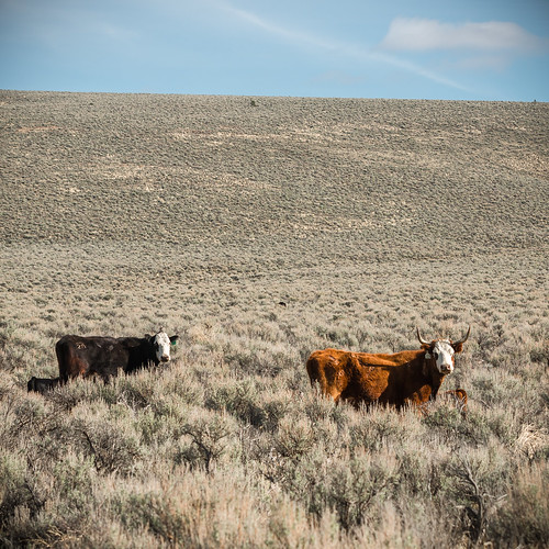Grazing east of Steens Mountain | by BLM Oregon & Washington