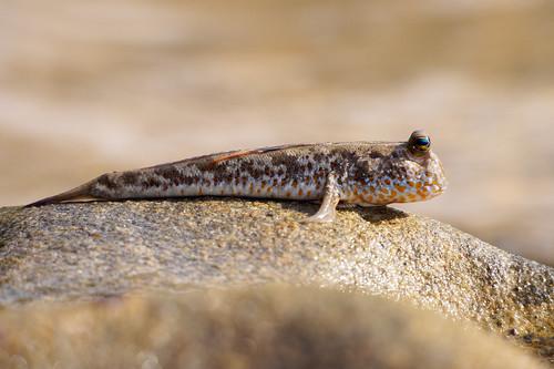 Gold-spotted Mudskipper | by Marek Stefunko