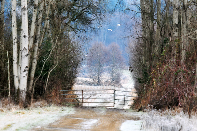 twin trees beyond the frosty fence . . .