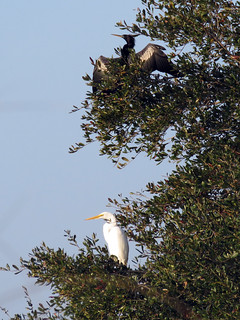 Anhinga & Great Egret | by magnificentfrigatebird