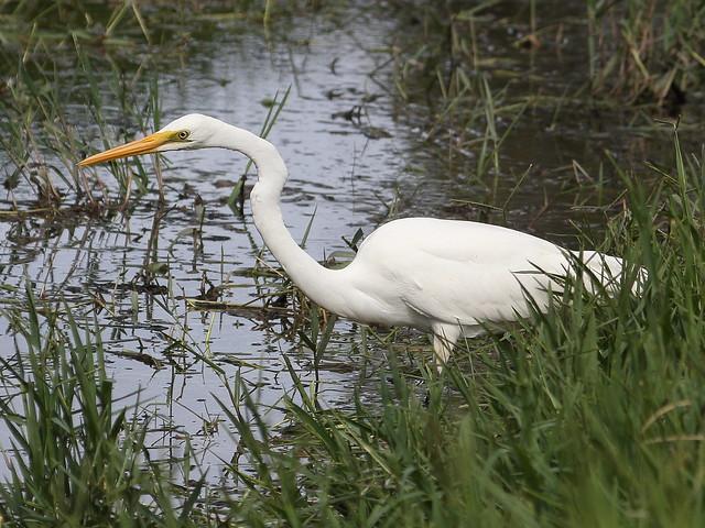 Eastern Great Egret at Herdsman