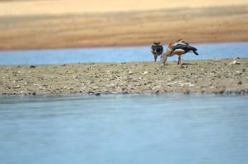 Orinoco goose   by Aztlek