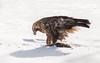 Golden Eagle (3 of 4) by tickspics 
