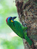 Red-Crowned Barbet Nesting by zingbean