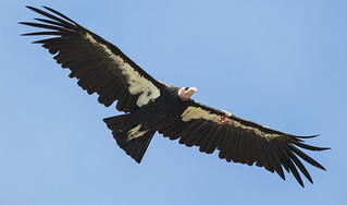 "california condor #167, ""Kingpin"" 