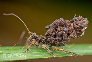 Ant-Snatching Assassin Bug (cf. Inara flavopicta) - DSC_0750