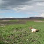 FIAMMA DI VALTRESINARO - Ferma su coppia di starne in campo di grano.