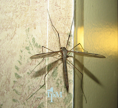 large, long fly with long legs and wings outstretched