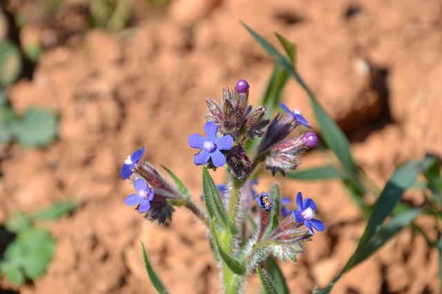 Anchusa italica - buglosse d'Italie 32103634860_0cbab44e48_z