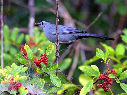Gray Catbird in Brazilian Pepper 20170225