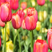 Araluen Tulips-9709