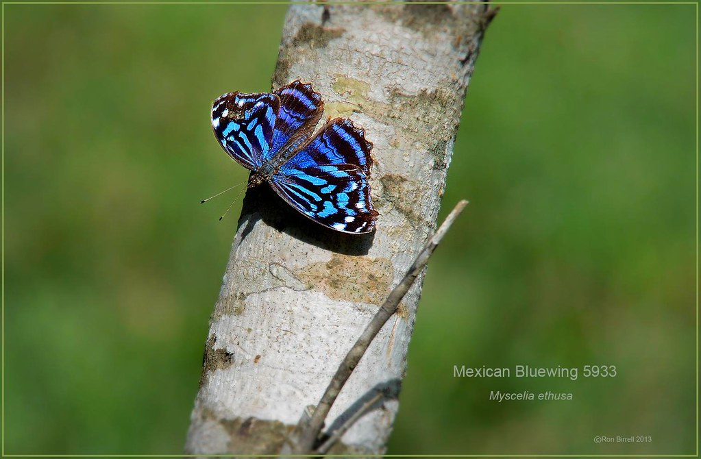 Mexican Bluewing Texas butterfly photography by Ron Birrell,  DSC_5933