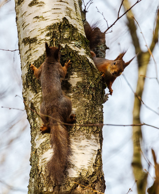 Two squirrels playing