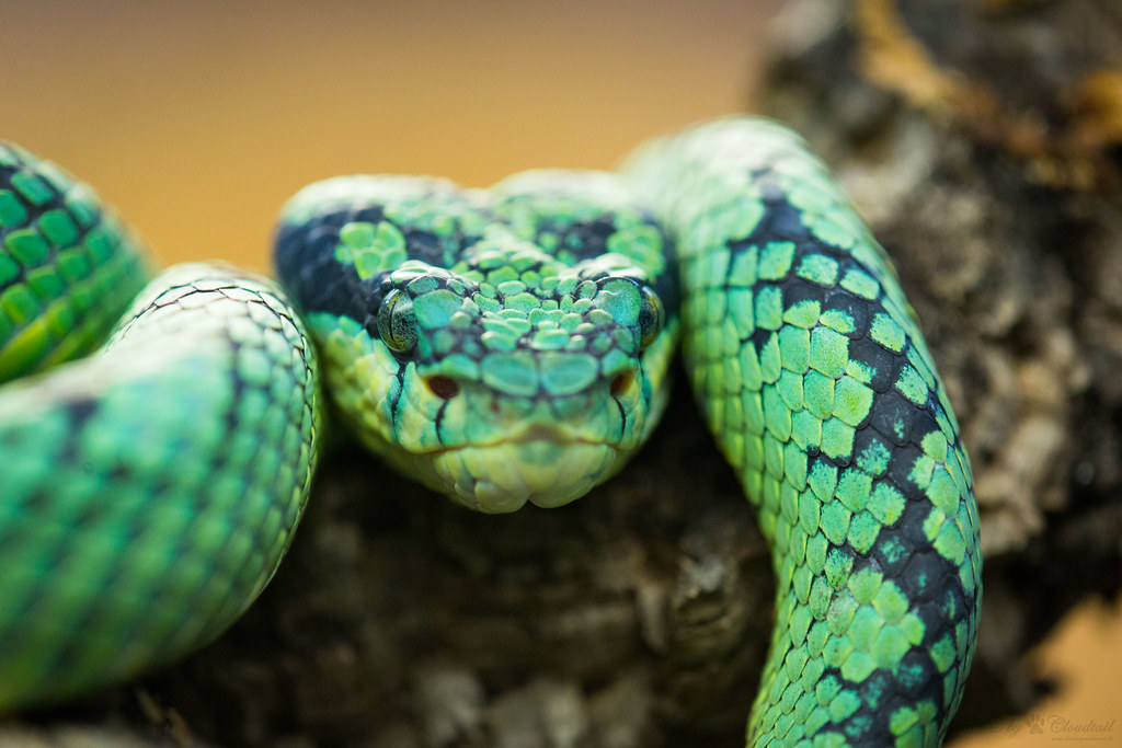 Ceylon pit viper | A picture, I've made during a visit at Wi