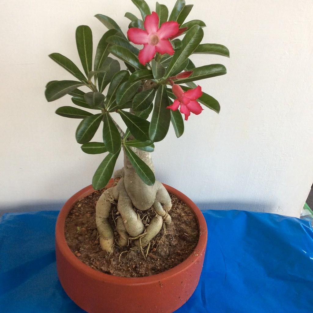 Adenium bonsai -