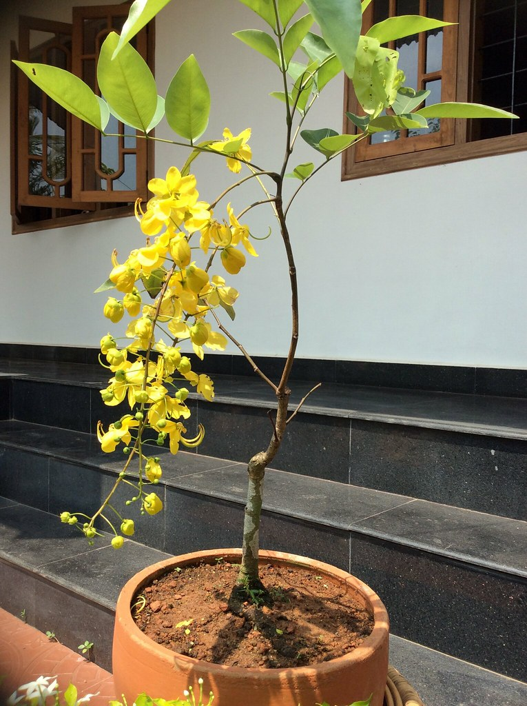 Cassia tree commonly known as Golden shower tree ( Botanical name is Cassia fistula) . The tree shown in this pic is eight years old. -