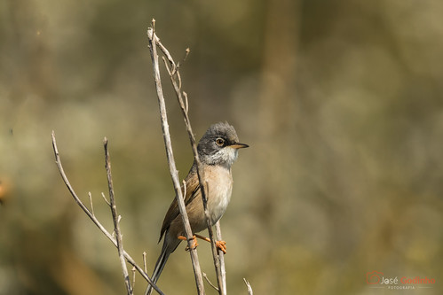 Toutinegra-tomilheira | Spectacled Warbler | Curruca Tomillera | Fauvette à lunettes | Sterpazzola della Sardegna | Sylvia conspicillata | by Godinho Birds & Nature Fotos
