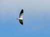 Black-winged Kite (Elanus caeruleus) by David Cook Wildlife Photography