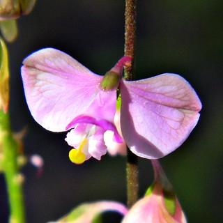 Polygala violacea (aka P. grandiflora) | by bob in swamp
