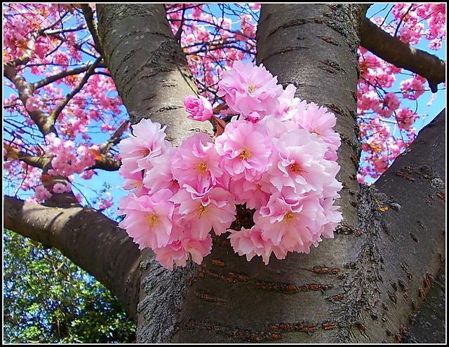 New Shoot of Blossom ..