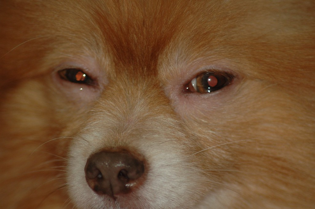 Pomeranian hälsa