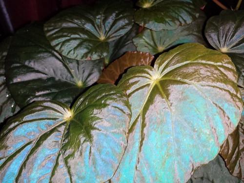 Begonia pavonina is irridescent