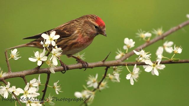 Redpoll. at RSPB Nature Reserve, Lochwinnoch, Scotland.