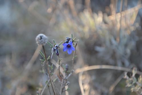 Lithodora fruticosa - grémil ligneux 33107733120_d26d561fb3