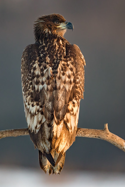 Perched White-tailed Eagle