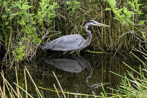 Great Blue Heron Reflected | by Charles Patrick Ewing