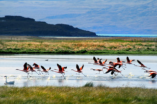 Flamingos, Lago Argentino, Patagonia, Argentina | by Dimitry B