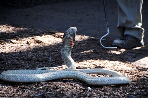 King cobra with snake keeper nearby, at Reptile Park, Gosford | by John Englart (Takver)