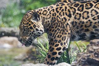 Profile of Napo   by Tambako the Jaguar
