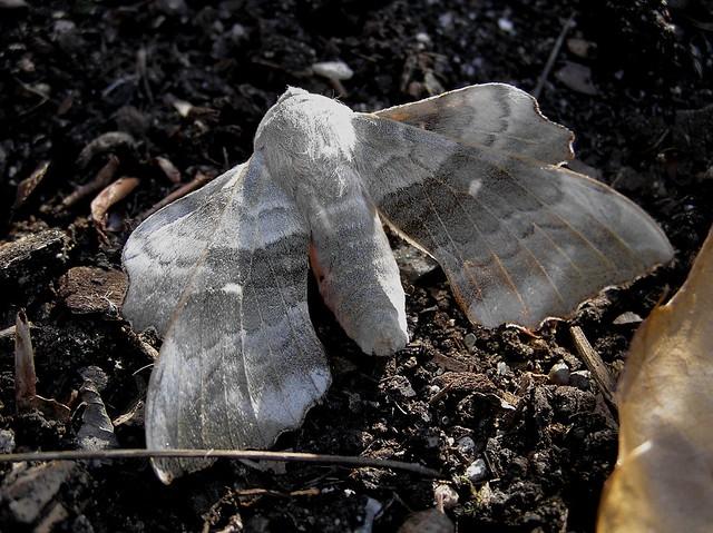 Laothoe populi ou Amorpha populi - Le Sphinx du Peuplier - The Poplar Hawk-moth - 05/08/13