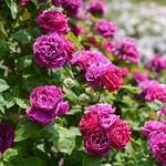 Rose, Baron Girod de l'Ain, バラ, バロン ジロー ド ラン,