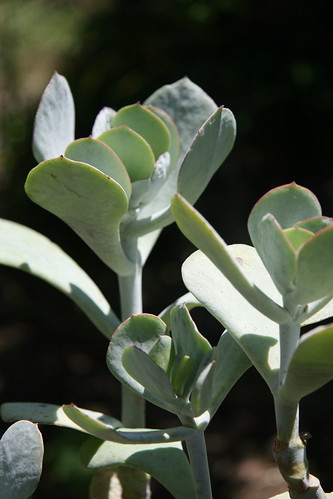 Cotyledon orbiculata 32515024984_2a4b04c278