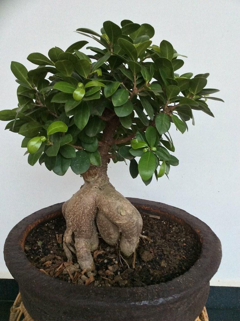 Ficus ginsung -
