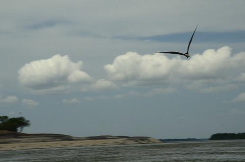 Black skimmer in flight 2 | by Aztlek