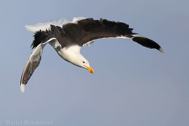 Great Black-backed Gull 8391(6D2)