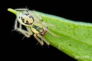 Comb-footed spider (Phycosoma sp.) - DSC_4113
