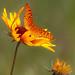 A fritillary butterfly seeks nectar from an Indian Blanket Flower.