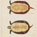 Flickr photo 'Emys bellii and Emys marginata (bottom views) (March 1856)' by: The Ernst Mayr Library.