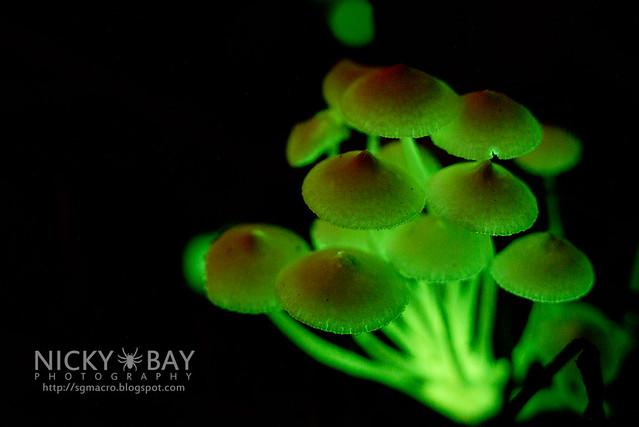 Bioluminescent Fungi (Filoboletus manipularis?) - DSC_2503