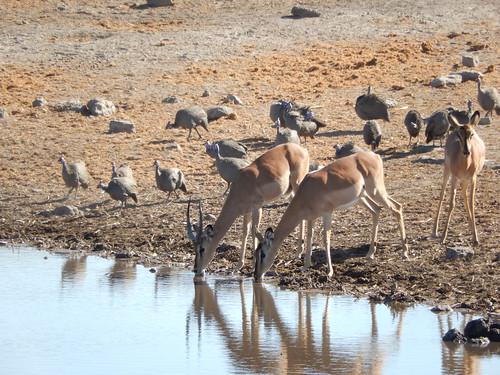 Etosha NP - springbokjes en helmeted guineafowl