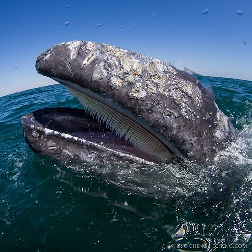 A cute little baby gray whale opens its mouth at the surface, exposing baleen. San Ignacio Lagoon, Baja California, Mexico. | by echeng