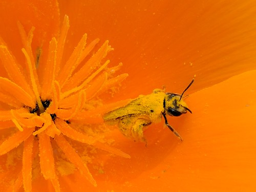 Honeybee on California poppy, covered in pollen. Sacramento, April 5,  2017. | by PaintedByDawn