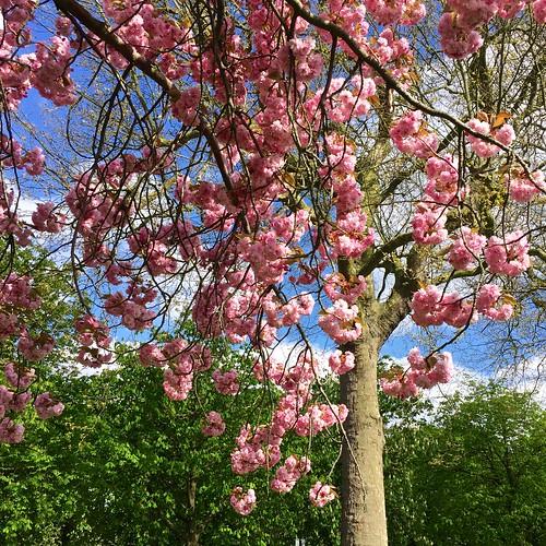 Greenwich Park cherry blossom avenue 2017   by Fran Pickering
