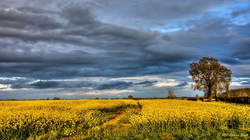 2017 april spring cranfordstjohns cranford duckend northamptonshire eastmidlands england english uk landscape countryside farming nature natural rural evening nikon d7200 raw tonemapped trees oaktrees rapeseed sky clouds cloudscape colourcontrast warm cool colour yellow blue peaceful tranquil minimalist beauty light sunlight serene